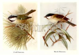 Coal-Titmouse & Marsh-Titmouse